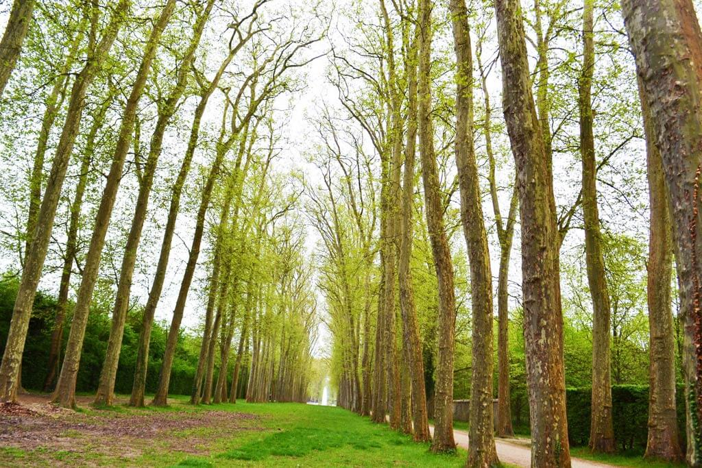 Versailles - Lime Tree Walk