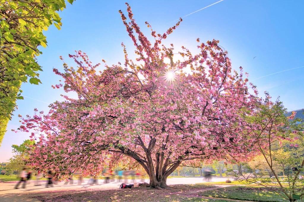 Cherry Blossoms - Jardin des Plantes