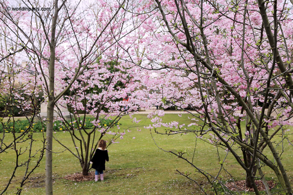 Cherry Blossoms Luxembourg Gardens