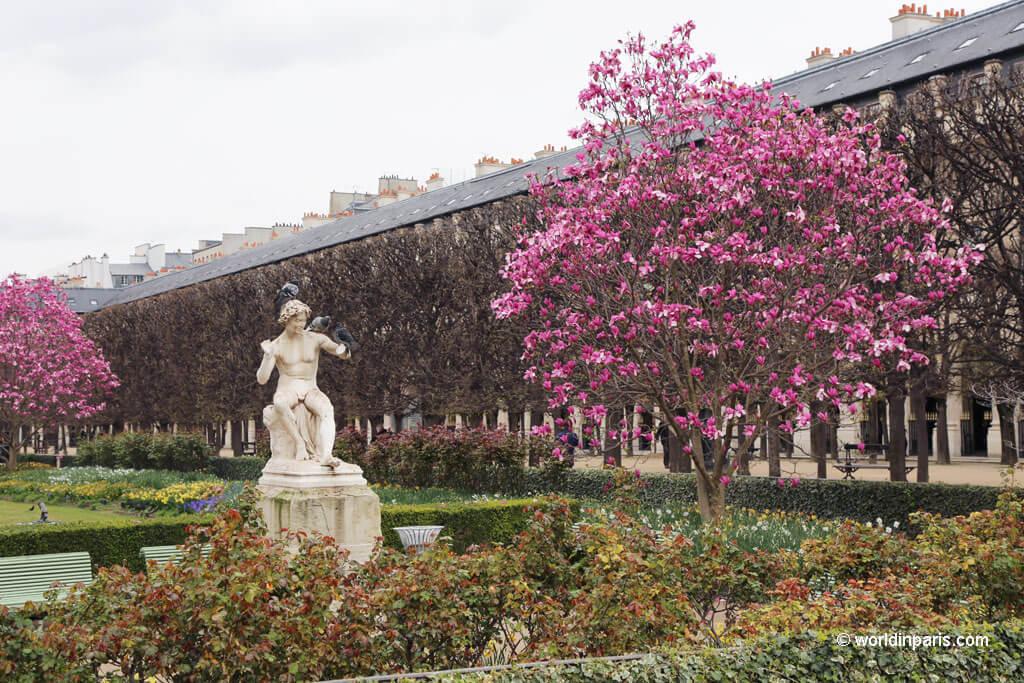 Cherry Blossoms Palais Royal