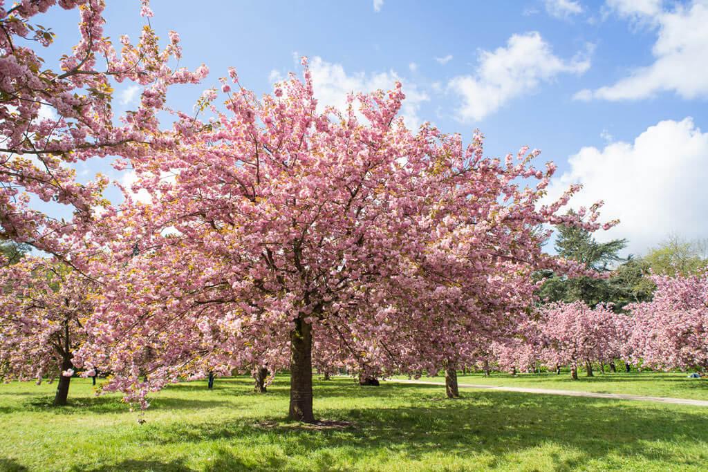 Cherry Blossoms - Parc de Sceaux
