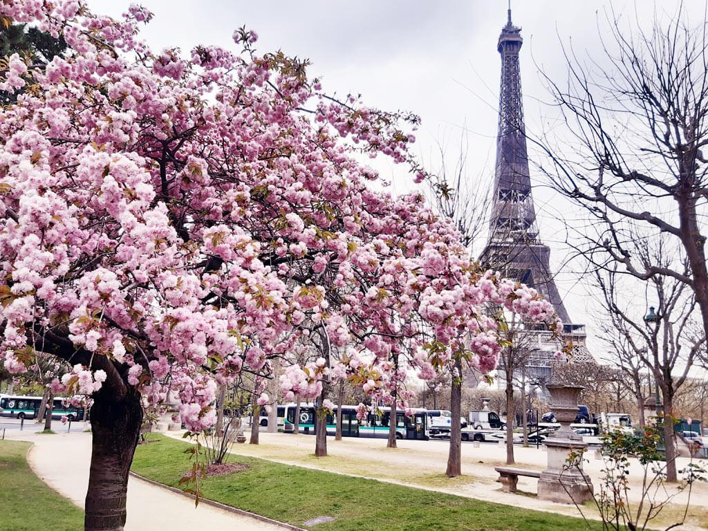 cherry blossoms - Eiffel Tower